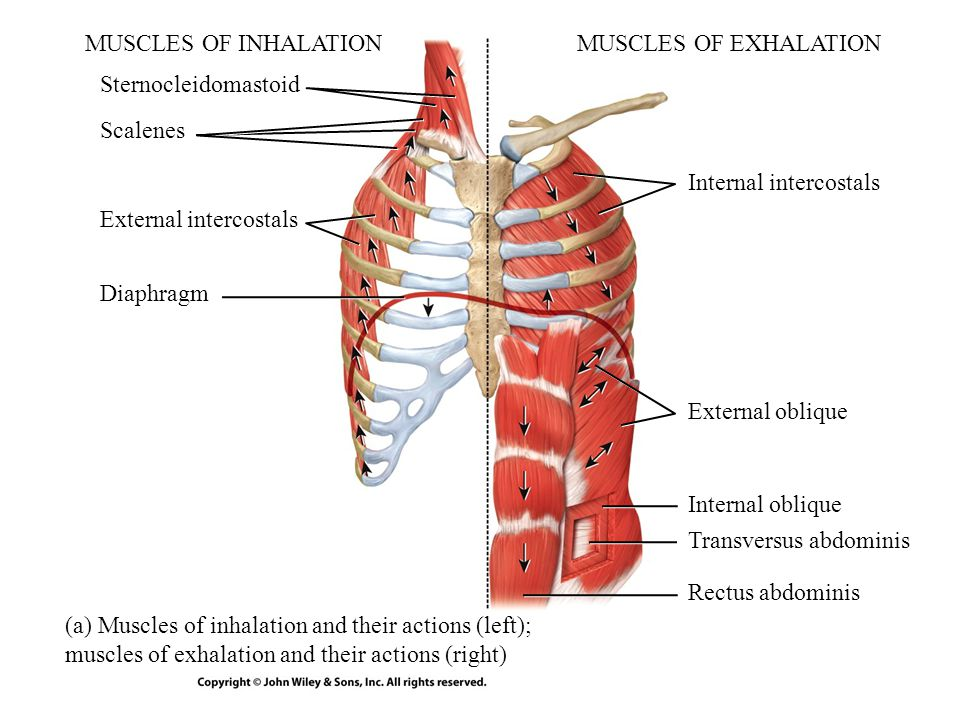 MUSCLES OF INHALATION MUSCLES OF EXHALATION. Sternocleidomastoid. Scalenes. Internal intercostals.