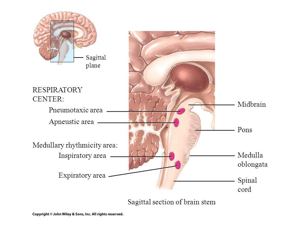 Medullary rhythmicity area: Inspiratory area Medulla oblongata