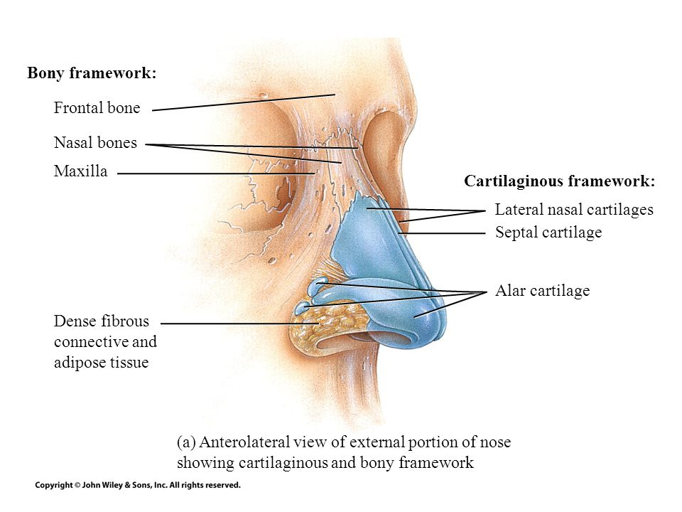 Bony framework: Frontal bone. Nasal bones. Maxilla. Cartilaginous framework: Lateral nasal cartilages.