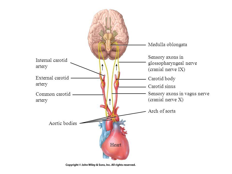 Medulla oblongata Sensory axons in glossopharyngeal nerve. (cranial nerve IX) Internal carotid. artery.