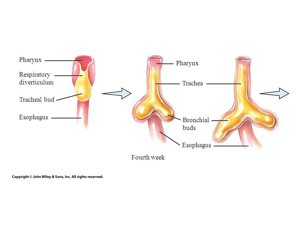 Anatomy of trachea