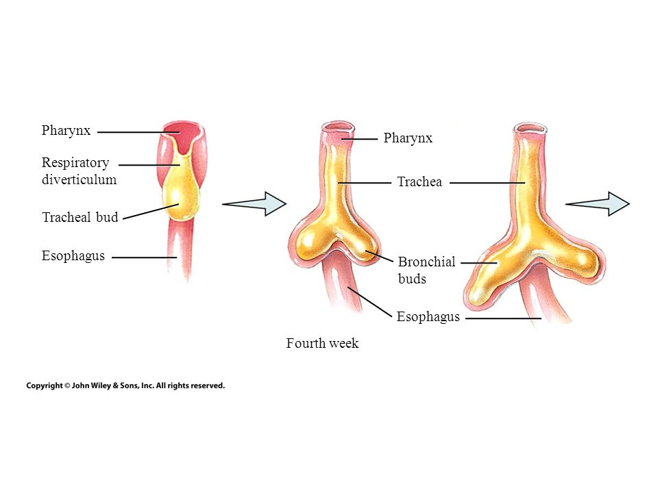 Pharynx Pharynx. Respiratory. diverticulum. Trachea. Tracheal bud. Esophagus. Bronchial. buds.