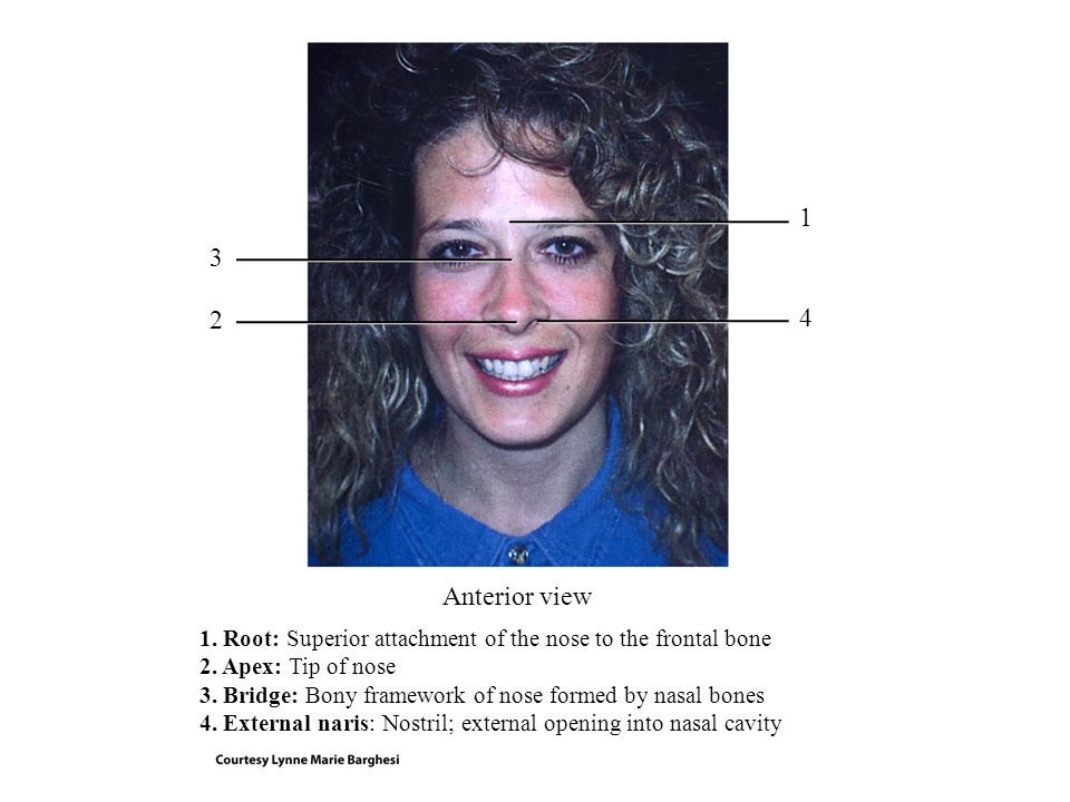1 3. 2. 4. Anterior view. 1. Root: Superior attachment of the nose to the frontal bone. 2. Apex: Tip of nose.