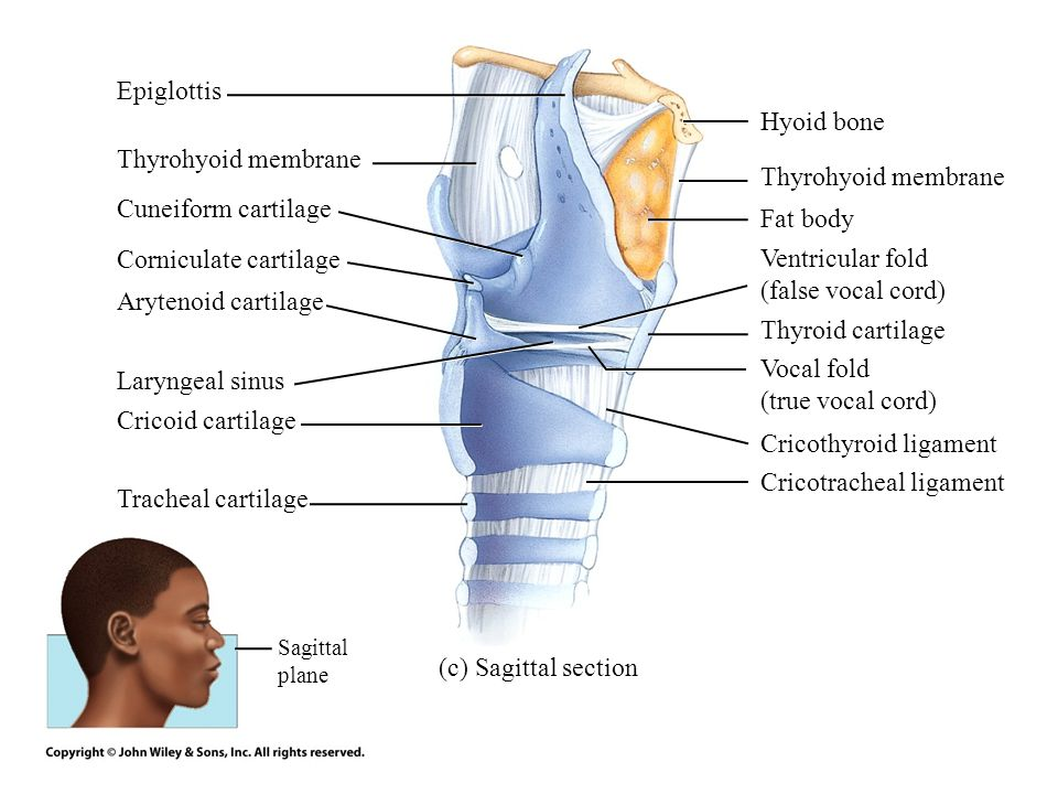 Corniculate cartilage Ventricular fold (false vocal cord)