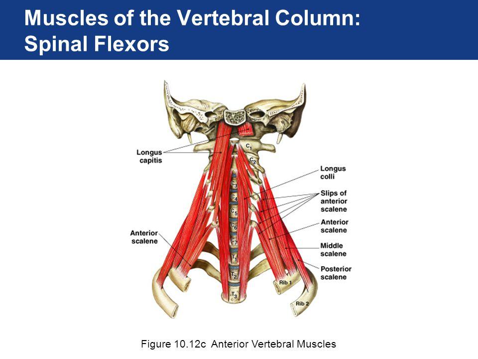 Muscles of the Vertebral Column: Spinal Flexors