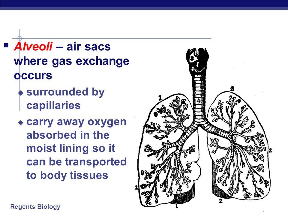 Alveoli – air sacs where gas exchange occurs