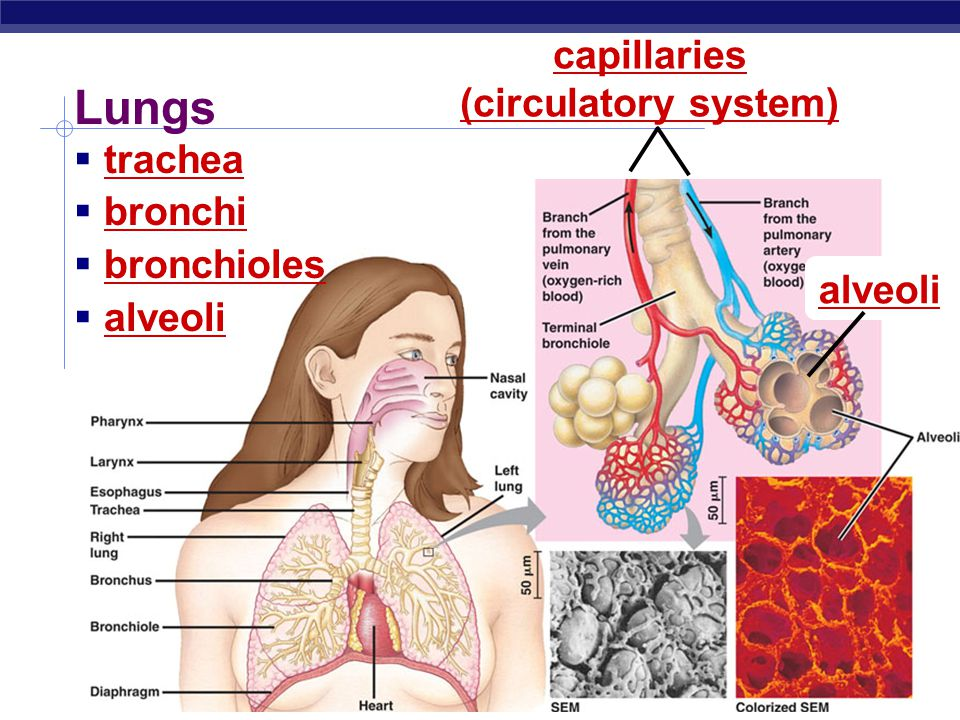 Lungs capillaries (circulatory system) trachea bronchi bronchioles
