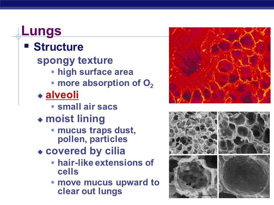 Lungs Structure spongy texture alveoli moist lining covered by cilia