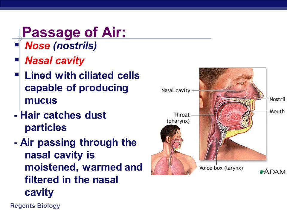 Passage of Air: Nose (nostrils) Nasal cavity