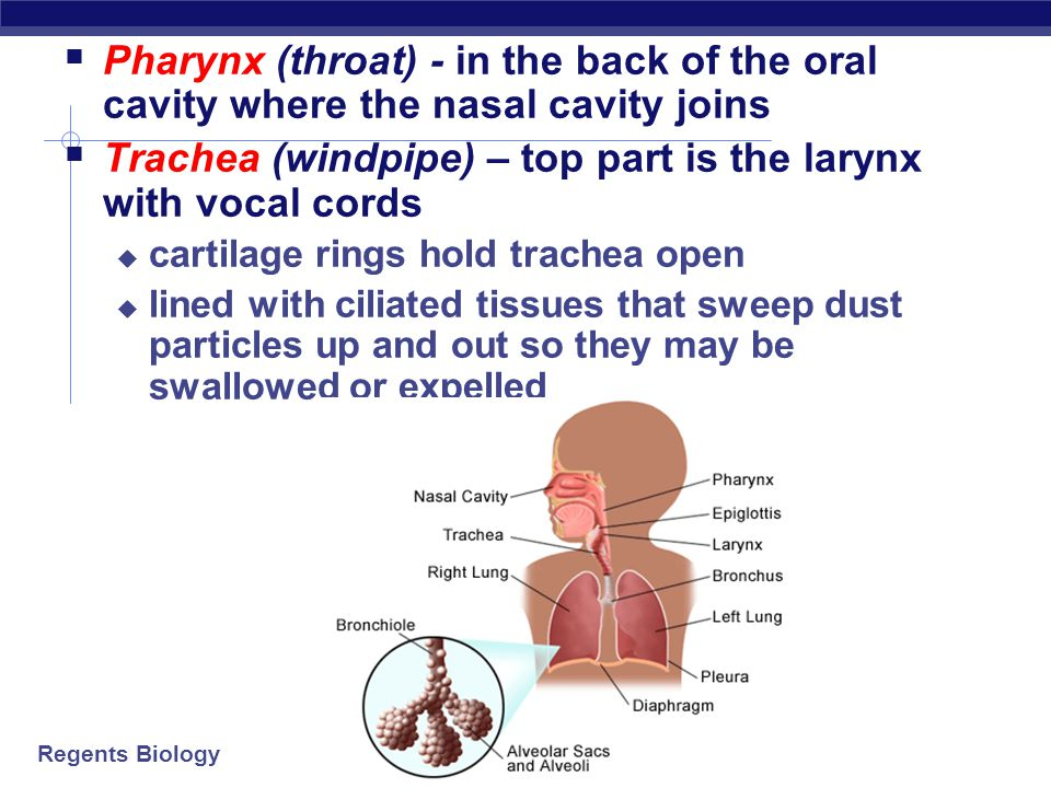 Trachea (windpipe) – top part is the larynx with vocal cords