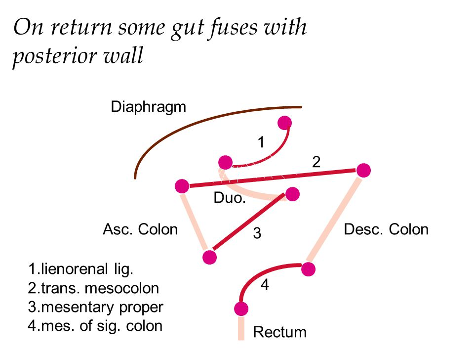 On return some gut fuses with posterior wall