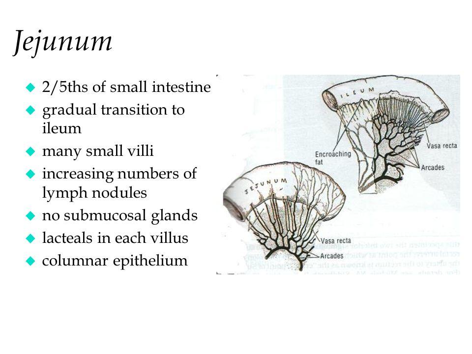 Jejunum 2/5ths of small intestine gradual transition to ileum