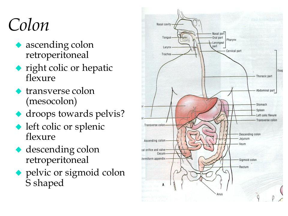 Colon ascending colon retroperitoneal right colic or hepatic flexure