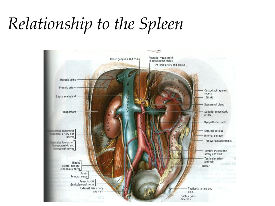 Relationship to the Spleen