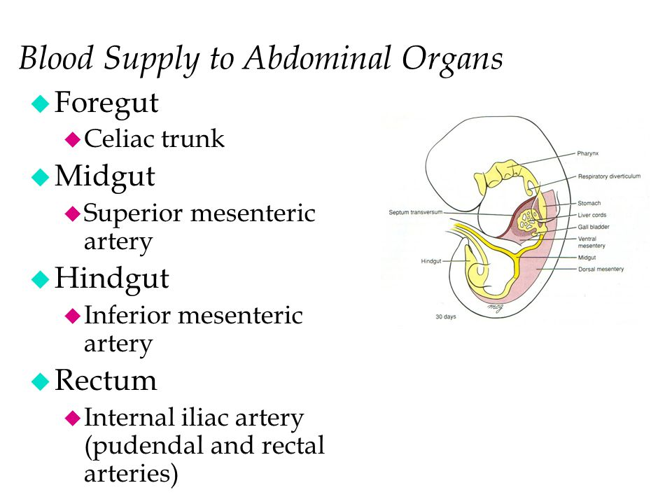 Blood Supply to Abdominal Organs