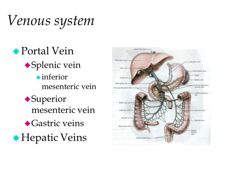 Venous system Portal Vein Hepatic Veins Inf. Vena Cava Splenic vein
