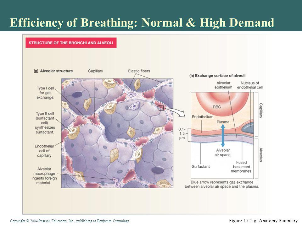 Efficiency of Breathing: Normal & High Demand
