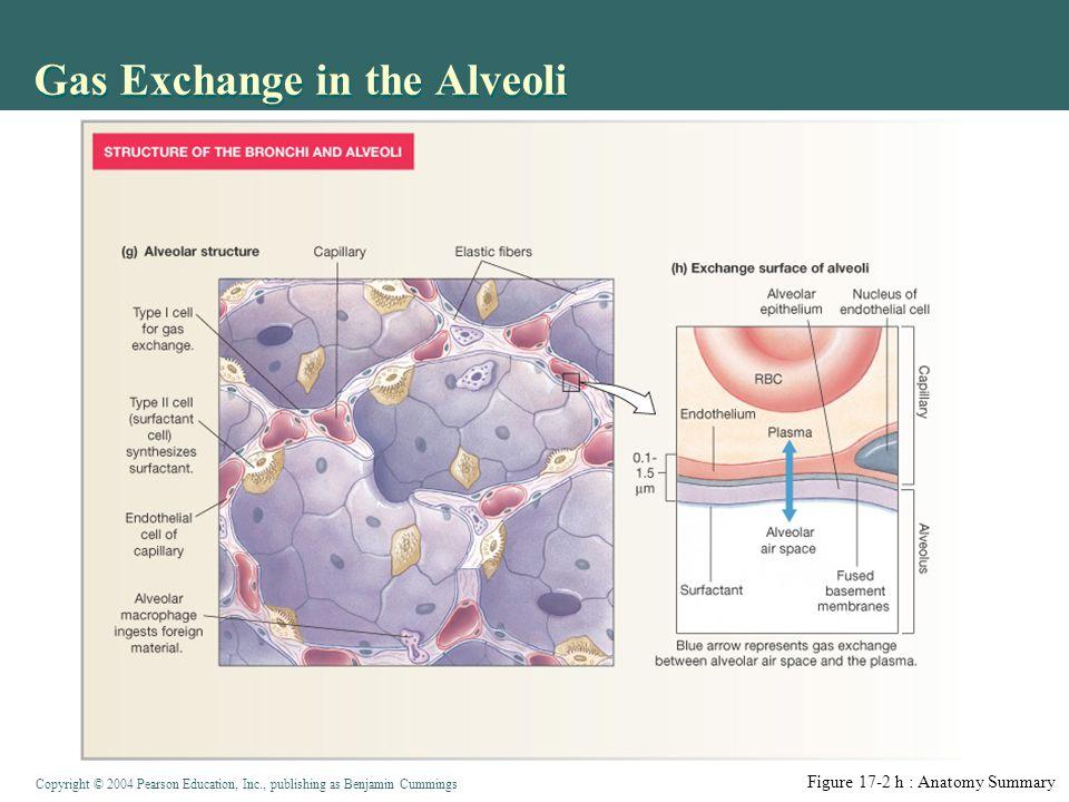 Gas Exchange in the Alveoli