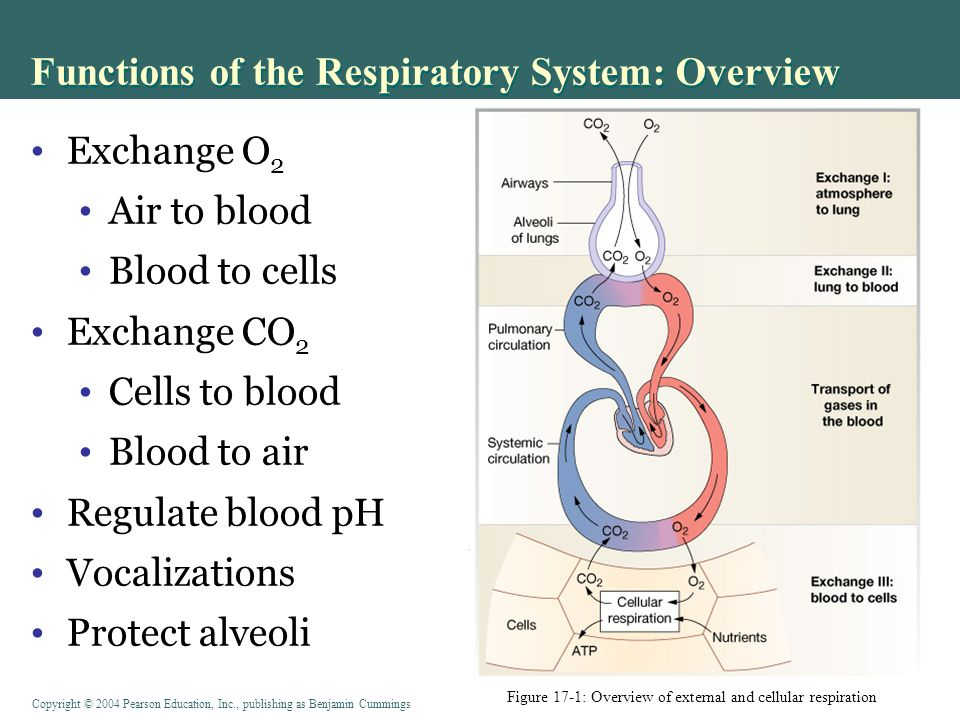 Functions of the Respiratory System: Overview