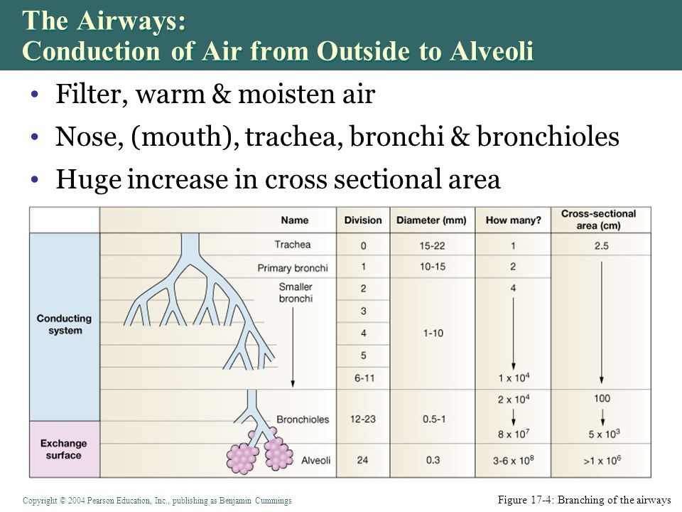 The Airways: Conduction of Air from Outside to Alveoli
