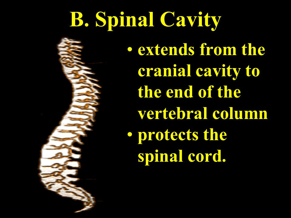 B. Spinal Cavity extends from the cranial cavity to the end of the vertebral column.