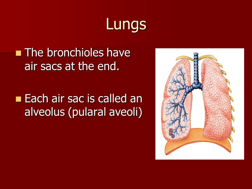 Lungs The bronchioles have air sacs at the end.