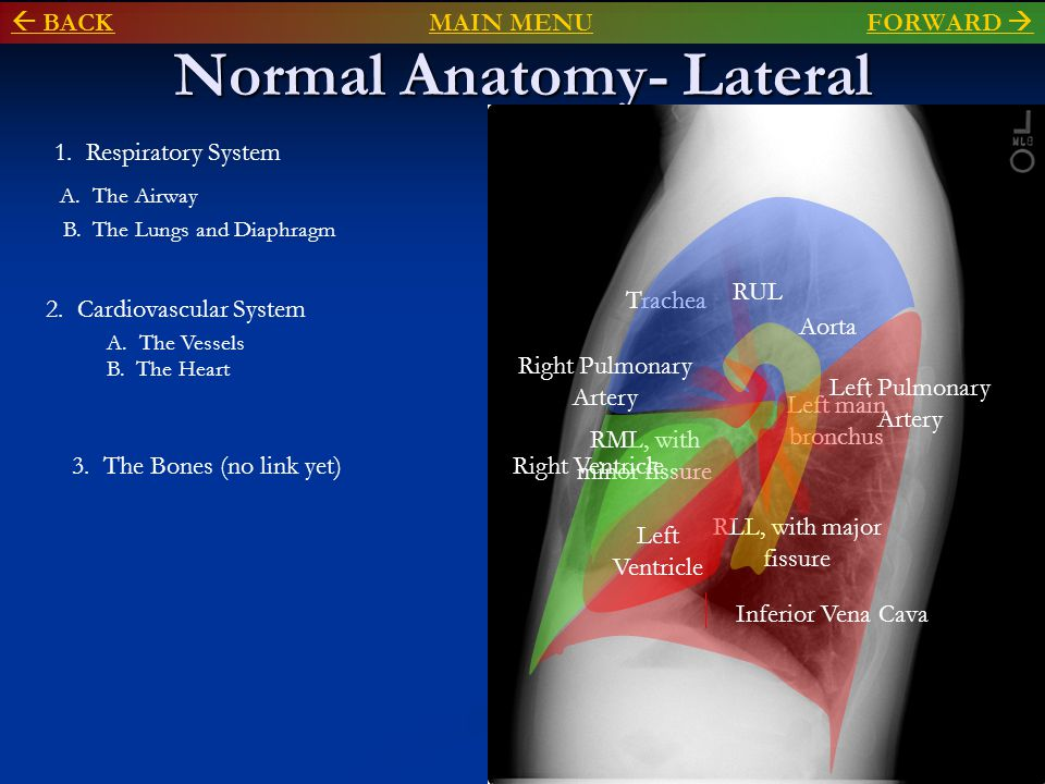 Normal Anatomy- Lateral