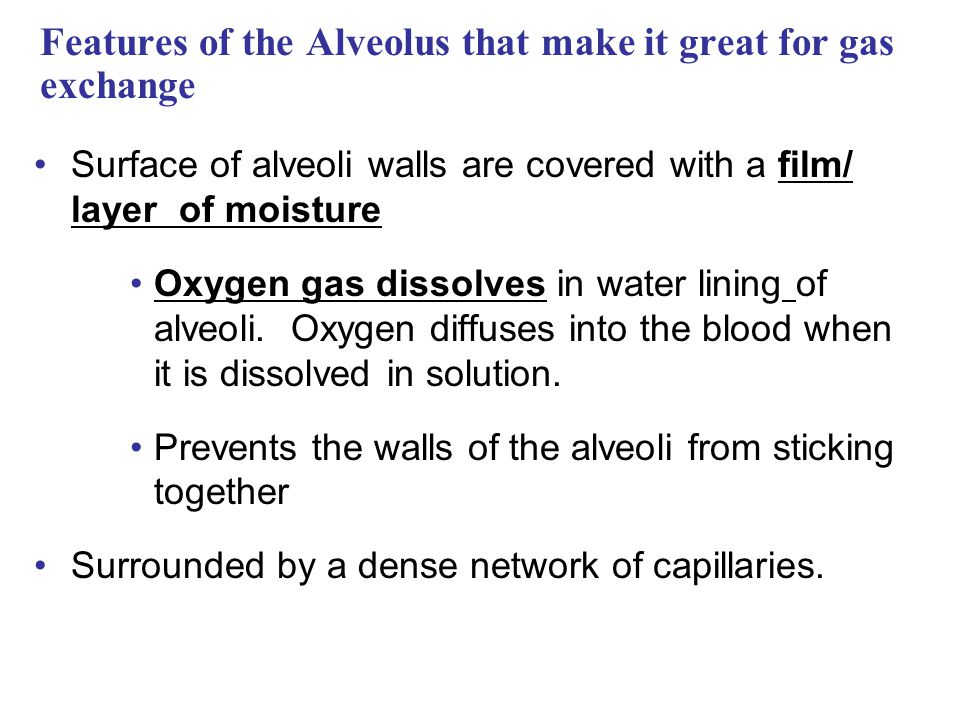 Features of the Alveolus that make it great for gas exchange