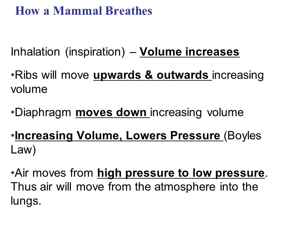 How a Mammal Breathes Inhalation (inspiration) – Volume increases