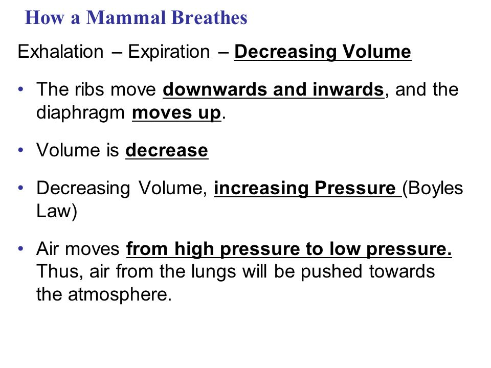 How a Mammal Breathes Exhalation – Expiration – Decreasing Volume