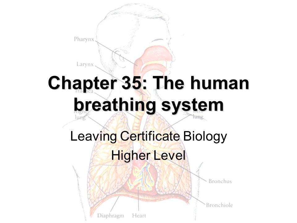 Chapter 35: The human breathing system