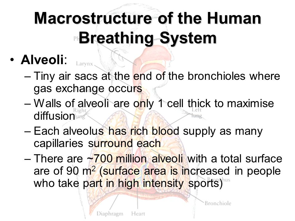 Macrostructure of the Human Breathing System