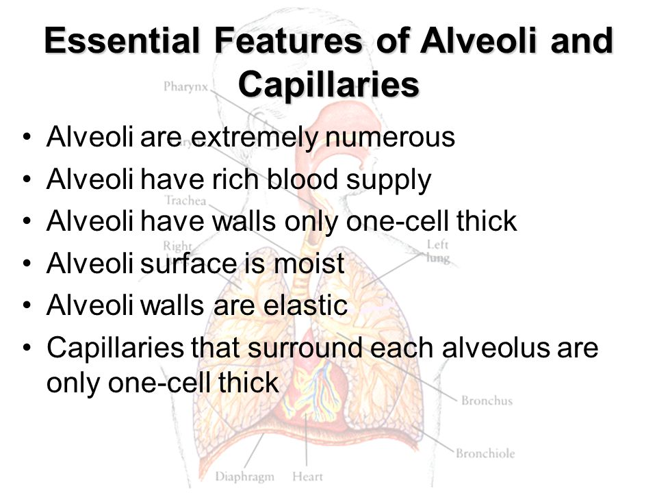 Essential Features of Alveoli and Capillaries