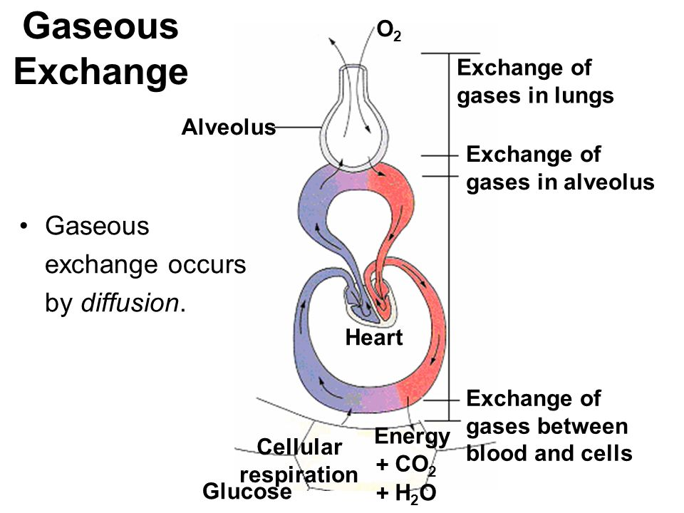 Gaseous Exchange Gaseous exchange occurs by diffusion. O2