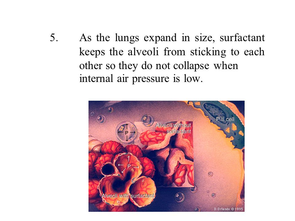 5. As the lungs expand in size, surfactant