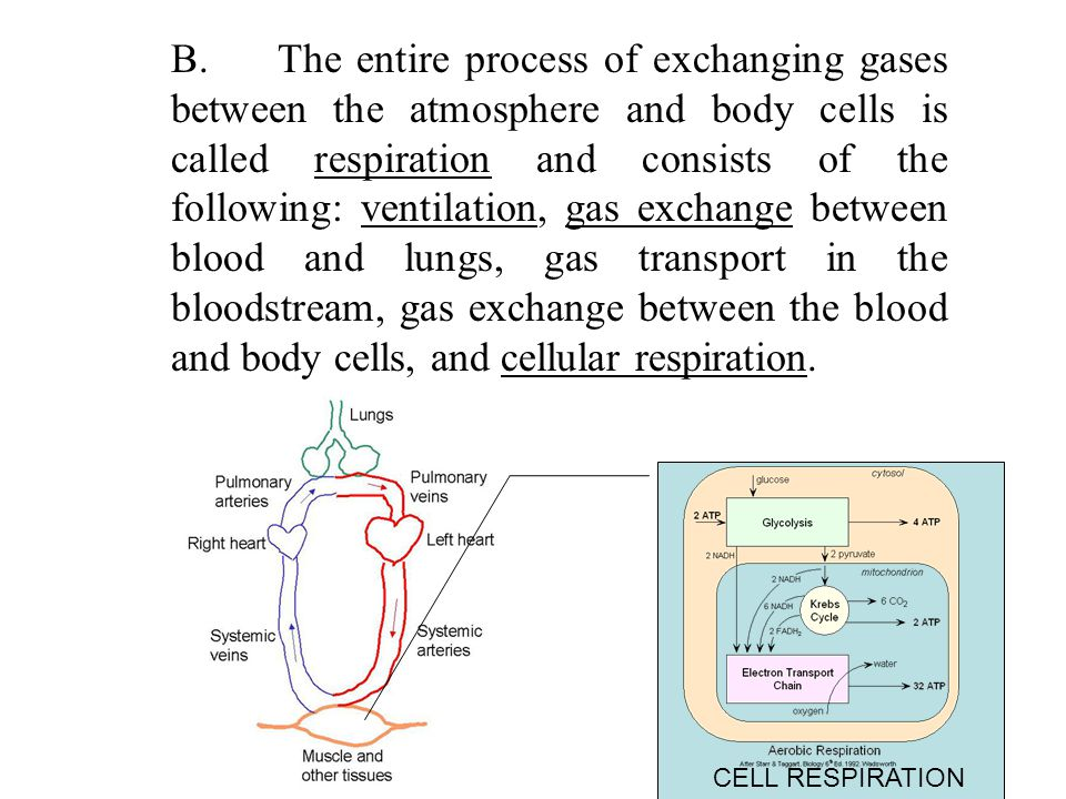 B. The entire process of exchanging gases