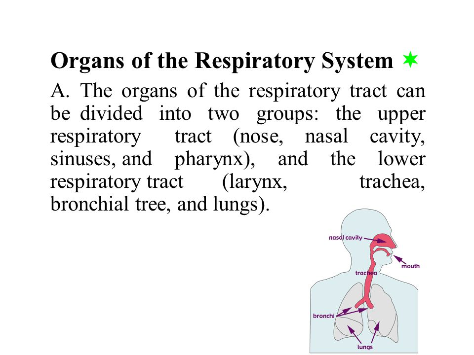 Organs of the Respiratory System 