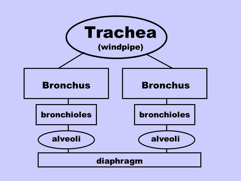 Trachea (windpipe) Bronchus Bronchus bronchioles bronchioles alveoli