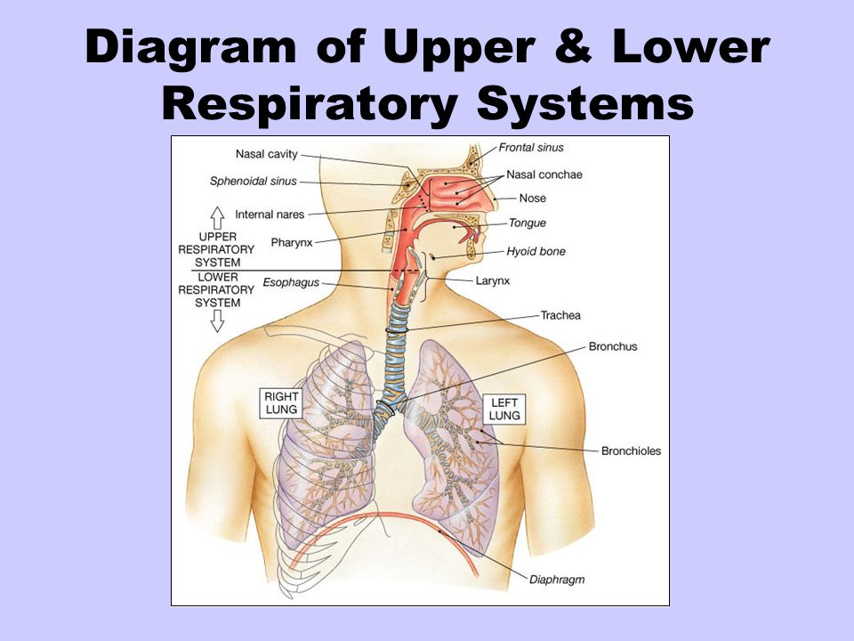 Diagram of Upper & Lower Respiratory Systems