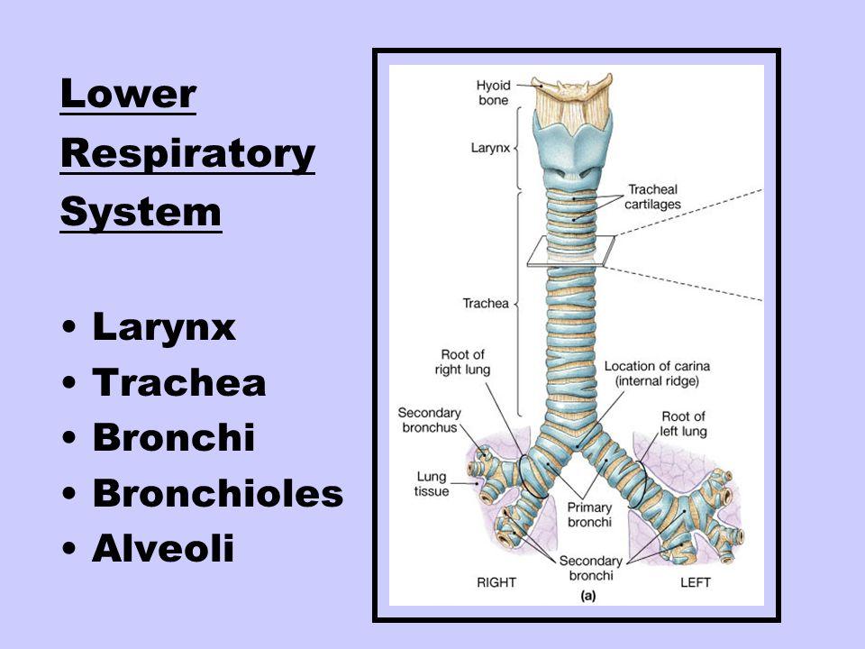 Lower Respiratory System Larynx Trachea Bronchi Bronchioles Alveoli