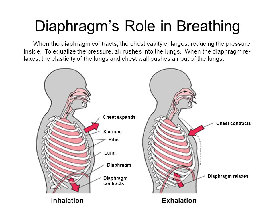 Diaphragm's Role in Breathing