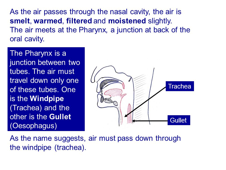 As the air passes through the nasal cavity, the air is