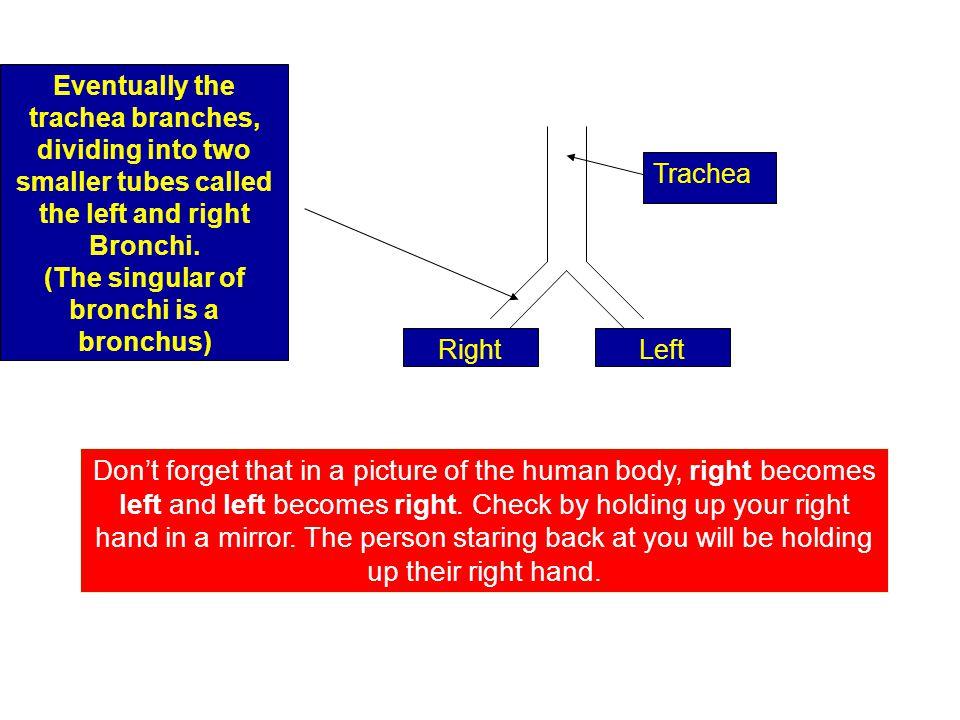(The singular of bronchi is a bronchus)