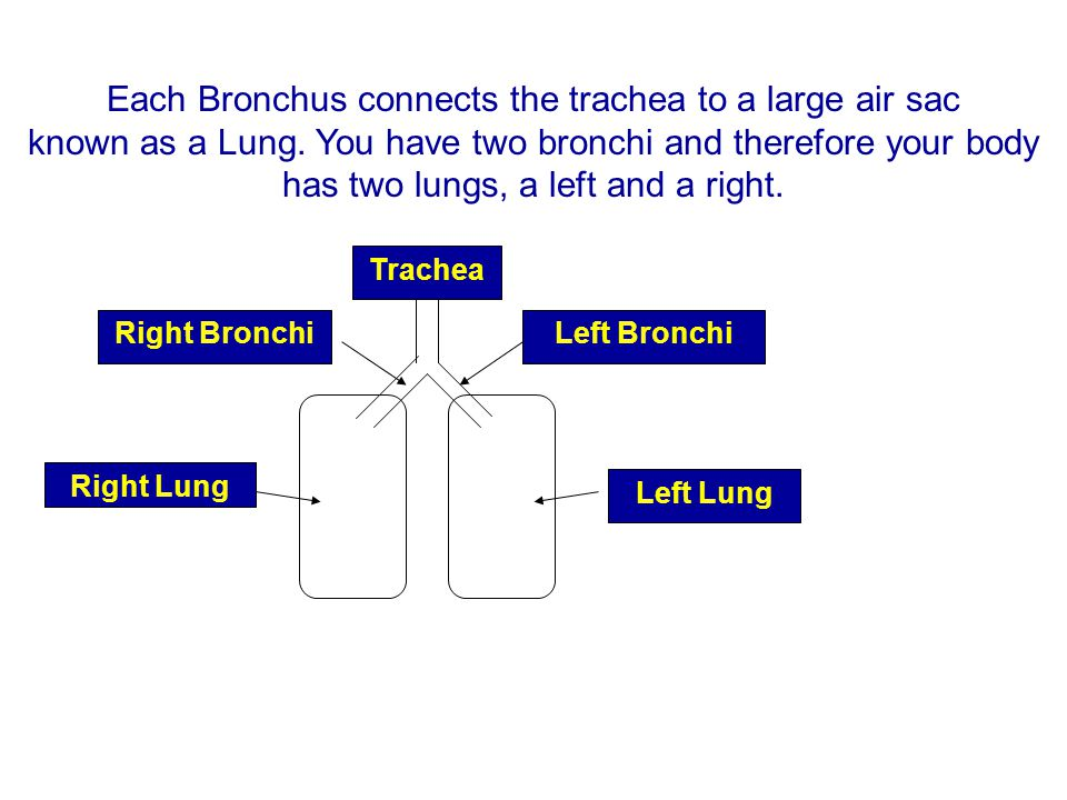 Each Bronchus connects the trachea to a large air sac