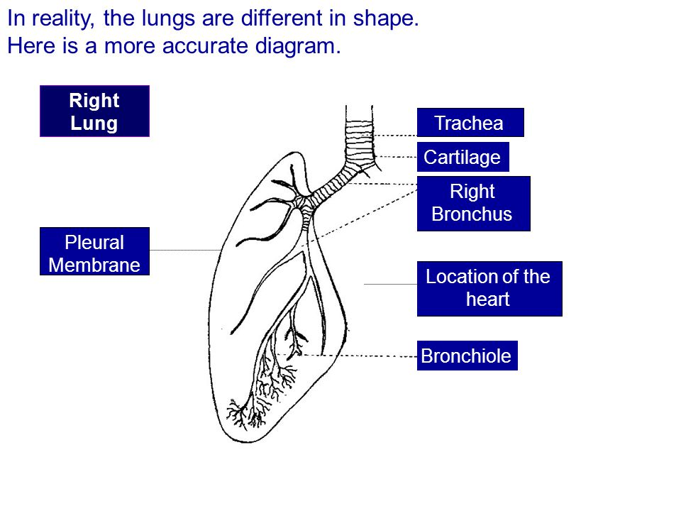 In reality, the lungs are different in shape.