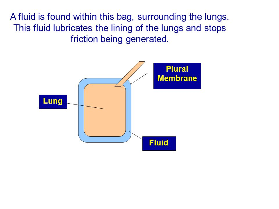 A fluid is found within this bag, surrounding the lungs