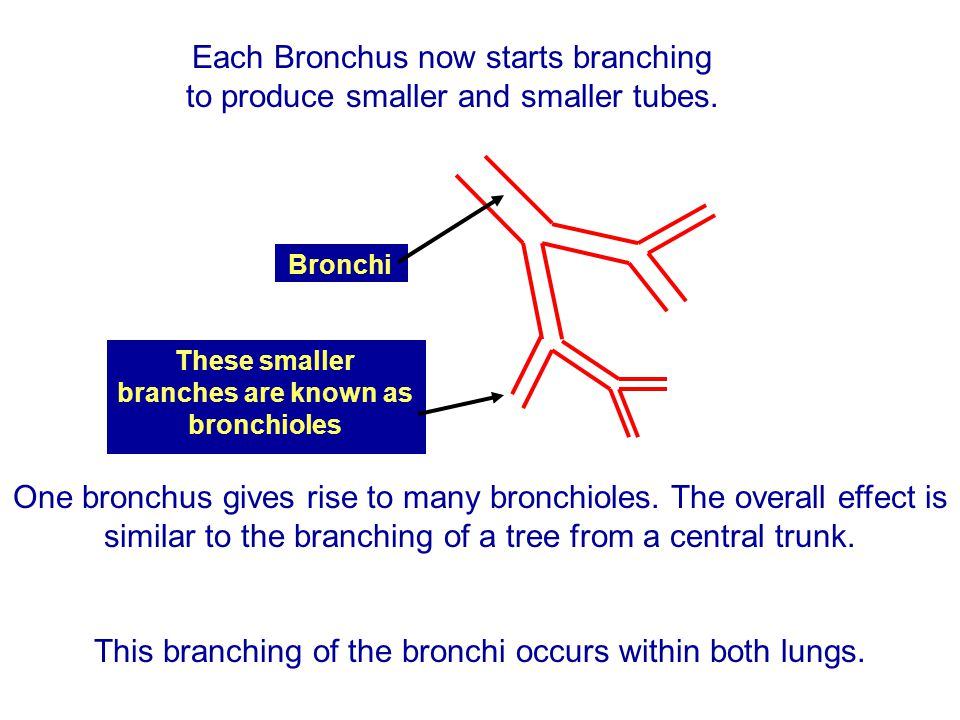 These smaller branches are known as bronchioles
