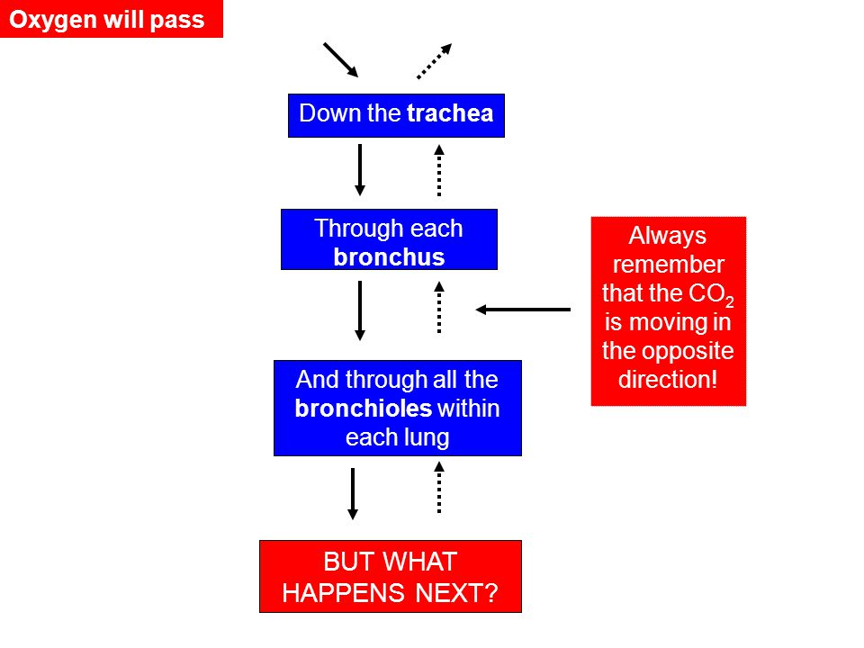 BUT WHAT HAPPENS NEXT Oxygen will pass Down the trachea