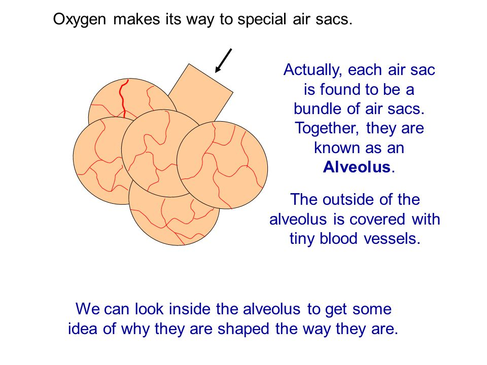 The outside of the alveolus is covered with tiny blood vessels.