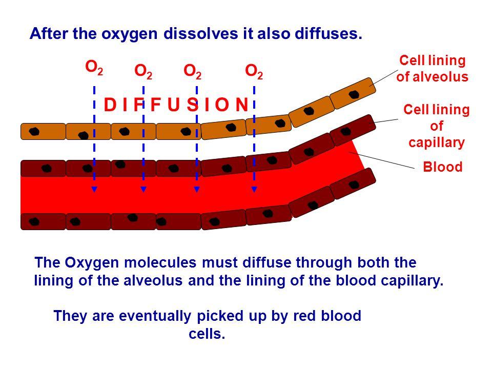 D I F F U S I O N After the oxygen dissolves it also diffuses. O2 O2